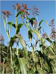 つぶつぶ.jp | 雑穀! 畑のビーフ 高キビが地球を救う